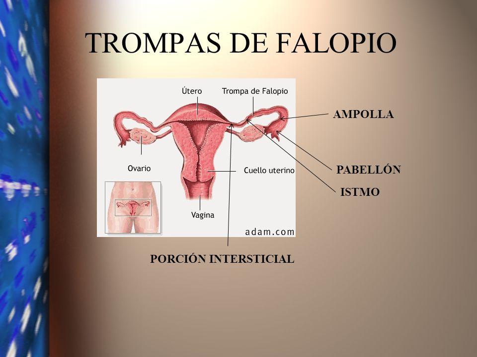 TROMPAS DE FALOPIO PABELLÓN AMPOLLA ISTMO PORCIÓN INTERSTICIAL