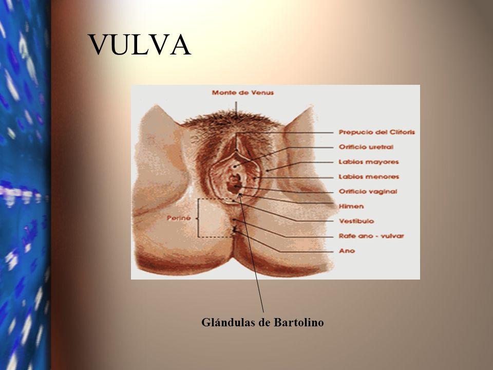 VULVA Glándulas de Bartolino