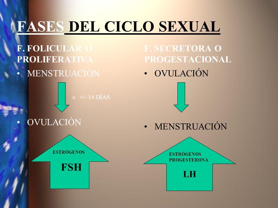 FASES DEL CICLO SEXUAL F. FOLICULAR O PROLIFERATIVA MENSTRUACIÓN »+/- 14 DÍAS OVULACIÓN F. SECRETORA O PROGESTACIONAL OVULACIÓN MENSTRUACIÓN ESTRÓGENO