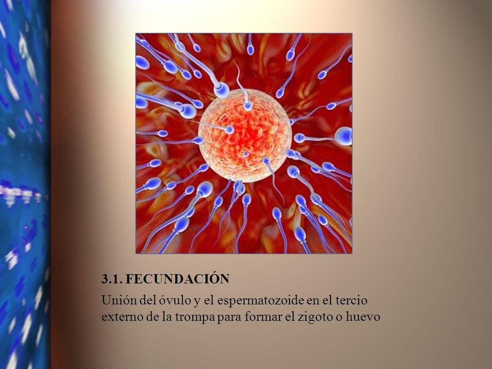 3.1. FECUNDACIÓN Unión del óvulo y el espermatozoide en el tercio externo de la trompa para formar el zigoto o huevo