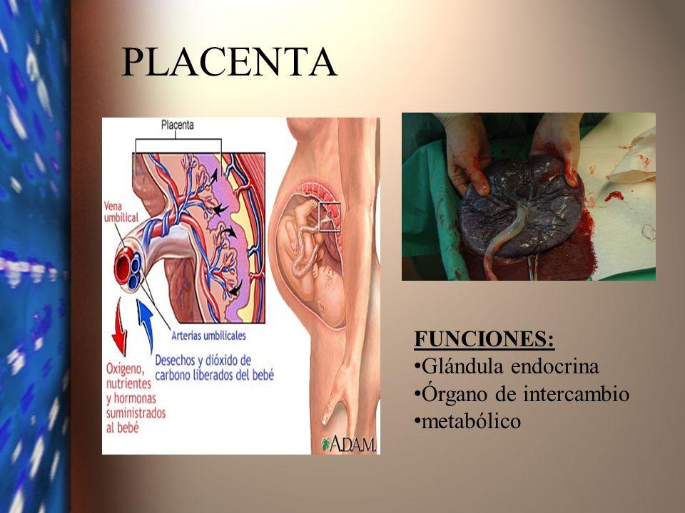 PLACENTA FUNCIONES: Glándula endocrina Órgano de intercambio metabólico