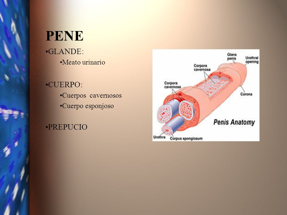 PENE GLANDE: Meato urinario CUERPO: Cuerpos cavernosos Cuerpo esponjoso PREPUCIO
