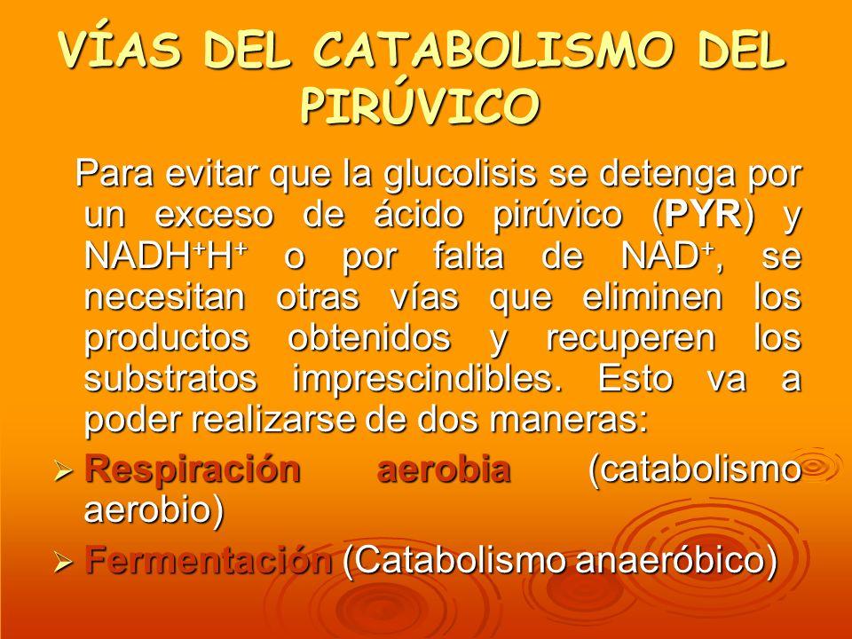VÍAS DEL CATABOLISMO DEL PIRÚVICO Para evitar que la glucolisis se detenga por un exceso de ácido pirúvico (PYR) y NADH + H + o por falta de NAD +, se