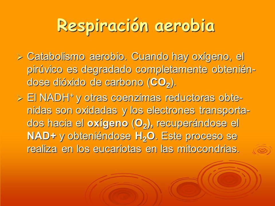 Respiración aerobia Catabolismo aerobio. Cuando hay oxígeno, el pirúvico es degradado completamente obtenién- dose dióxido de carbono (CO 2 ). Catabol