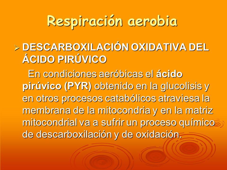 Respiración aerobia DESCARBOXILACIÓN OXIDATIVA DEL ÁCIDO PIRÚVICO DESCARBOXILACIÓN OXIDATIVA DEL ÁCIDO PIRÚVICO En condiciones aeróbicas el ácido pirú