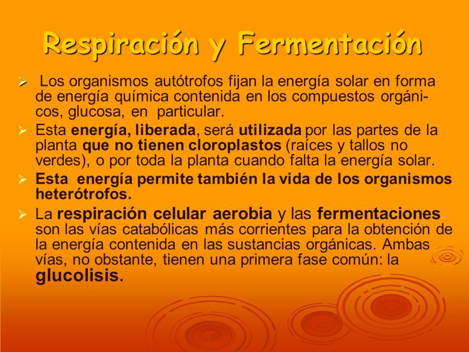 Respiración y Fermentación Los organismos autótrofos fijan la energía solar en forma de energía química contenida en los compuestos orgáni- cos, gluco