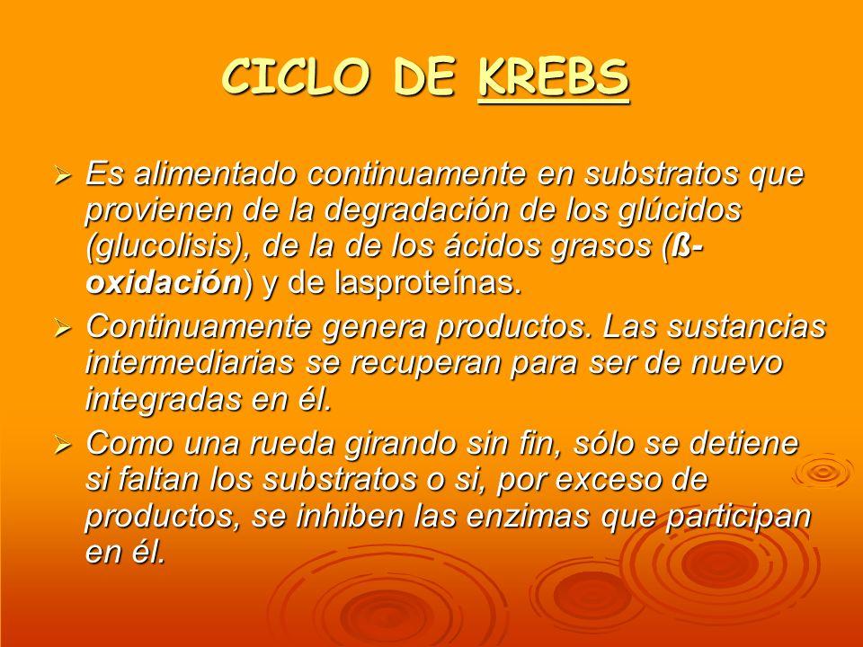 CICLO DE KREBS KREBS Es alimentado continuamente en substratos que provienen de la degradación de los glúcidos (glucolisis), de la de los ácidos graso