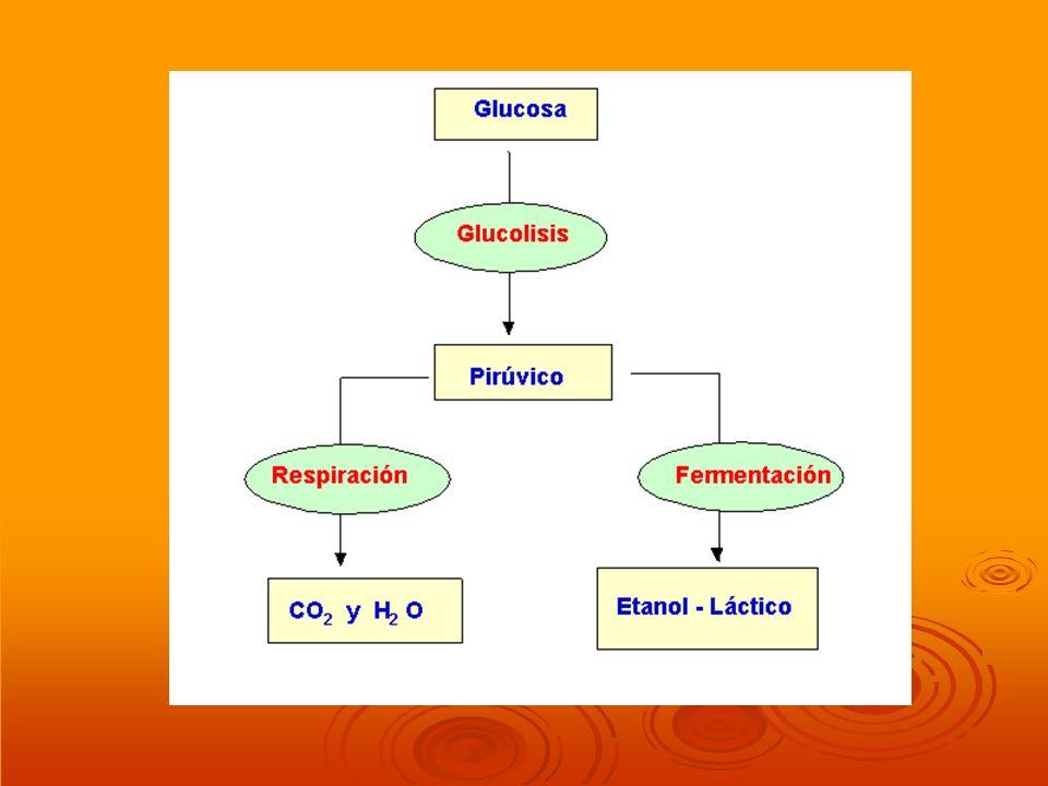 VÍAS DEL CATABOLISMO DEL PIRÚVICO Para evitar que la glucolisis se detenga por un exceso de ácido pirúvico (PYR) y NADH + H + o por falta de NAD +, se necesitan otras vías que eliminen los productos obtenidos y recuperen los substratos imprescindibles.