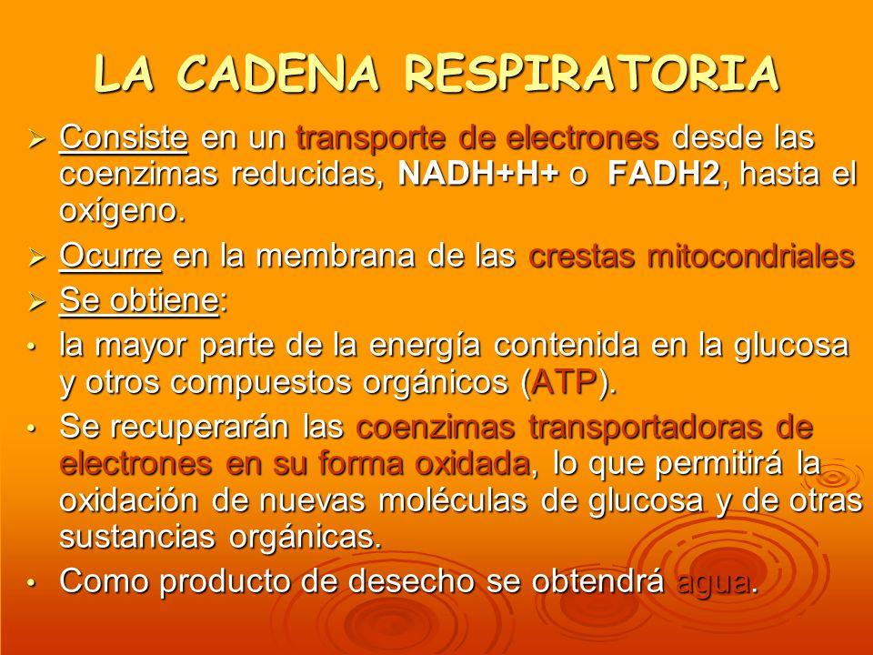 LA CADENA RESPIRATORIA Consiste en un transporte de electrones desde las coenzimas reducidas, NADH+H+ o FADH2, hasta el oxígeno. Consiste en un transp