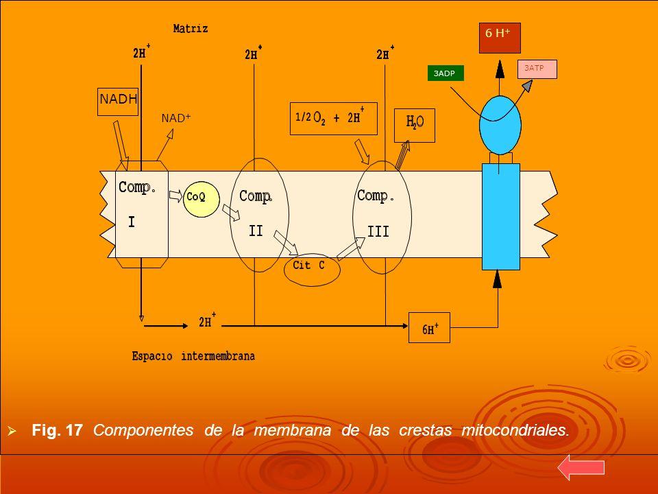 Fig. 17 Componentes de la membrana de las crestas mitocondriales. 3ADP NADH NAD +