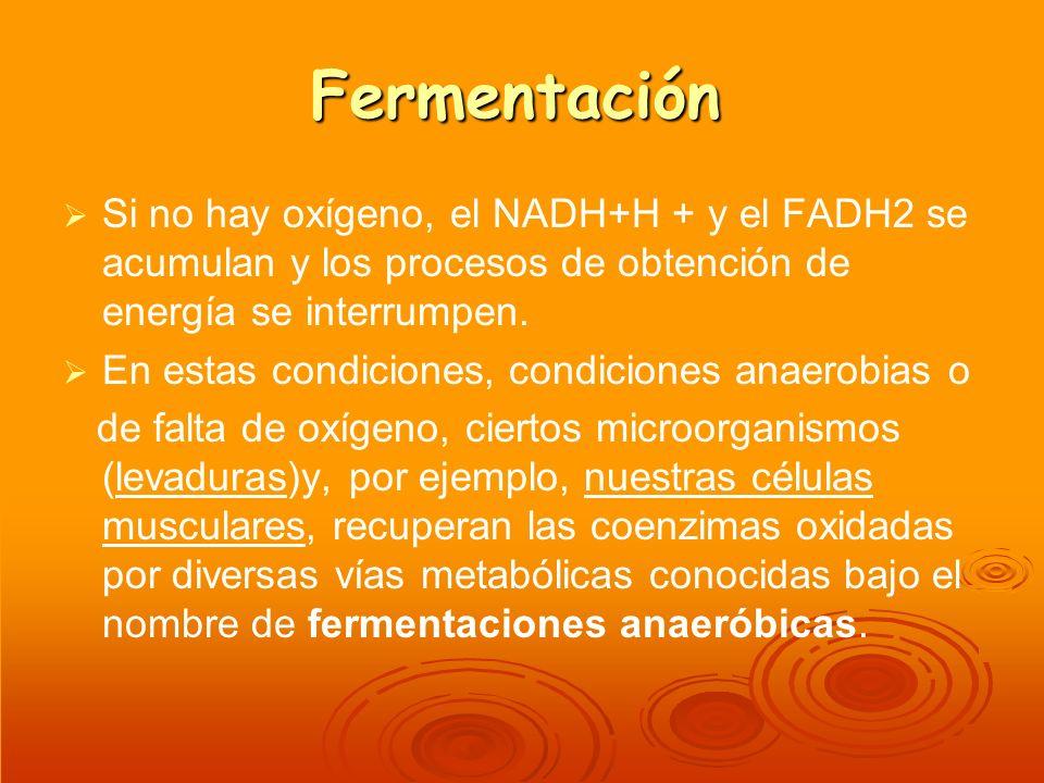 Fermentación Si no hay oxígeno, el NADH+H + y el FADH2 se acumulan y los procesos de obtención de energía se interrumpen. En estas condiciones, condic