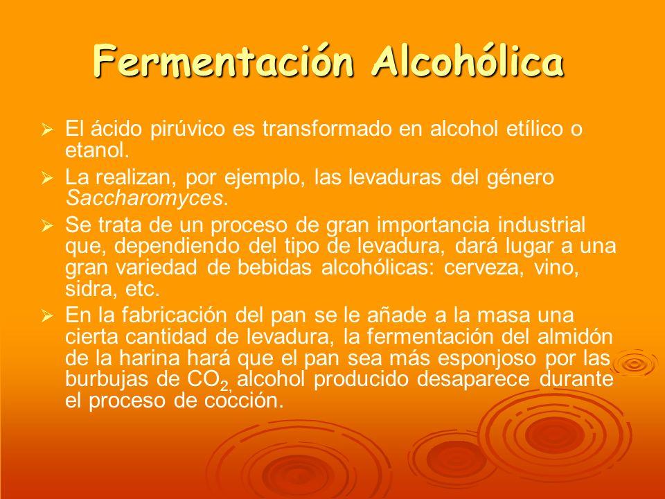 Fermentación Alcohólica El ácido pirúvico es transformado en alcohol etílico o etanol. La realizan, por ejemplo, las levaduras del género Saccharomyce