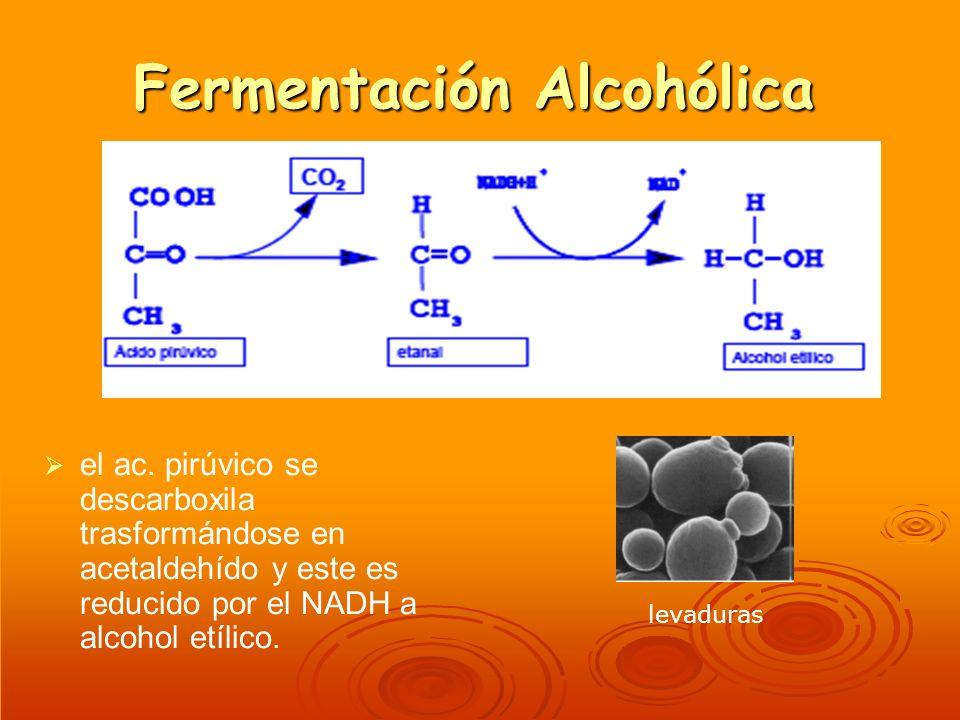 Fermentación Alcohólica el ac. pirúvico se descarboxila trasformándose en acetaldehído y este es reducido por el NADH a alcohol etílico. levaduras