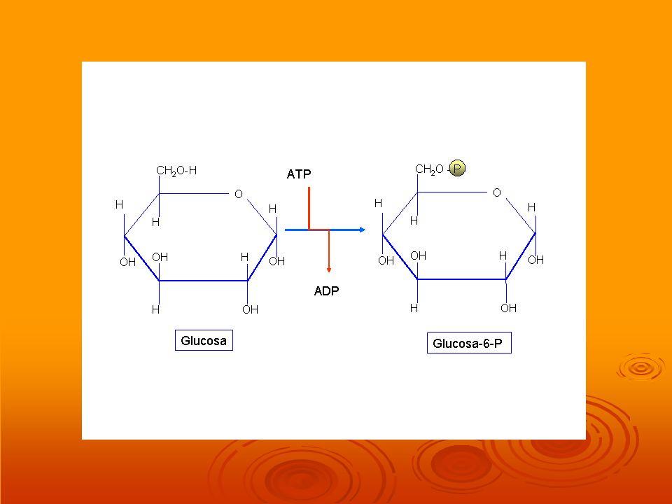 ¿ Qué sucede con el NADH de origen hialoplasmático en los eucariotas el NADH que se origina en el hialoplasma, en la glucolisis, sólo puede originar 2 ATP.