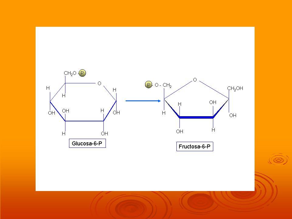Respiración aerobia DESCARBOXILACIÓN OXIDATIVA DEL ÁCIDO PIRÚVICO DESCARBOXILACIÓN OXIDATIVA DEL ÁCIDO PIRÚVICO En condiciones aeróbicas el ácido pirúvico (PYR) obtenido en la glucolisis y en otros procesos catabólicos atraviesa la membrana de la mitocondria y en la matriz mitocondrial va a sufrir un proceso químico de descarboxilación y de oxidación.