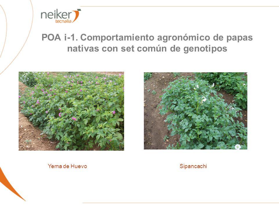 POA i-1. Comportamiento agronómico de papas nativas con set común de genotipos Yema de HuevoSipancachi