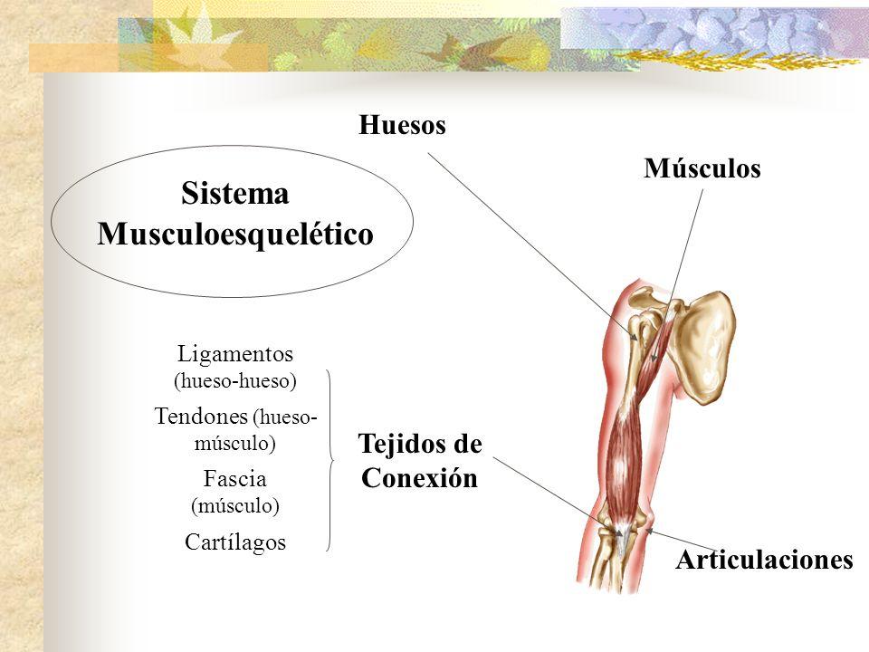 Músculos Tejidos de Conexión Huesos Ligamentos (hueso-hueso) Fascia (músculo) Tendones (hueso- músculo) Cartílagos Sistema Musculoesquelético Articula
