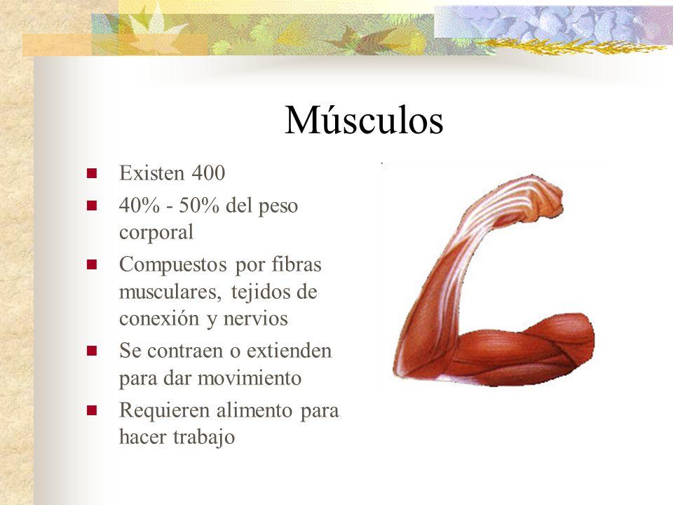 Músculos Existen 400 40% - 50% del peso corporal Compuestos por fibras musculares, tejidos de conexión y nervios Se contraen o extienden para dar movi