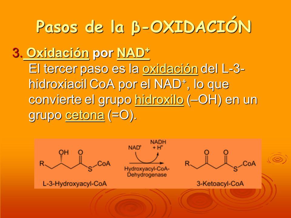 Pasos de la β-OXIDACIÓN 3. Oxidación por NAD + El tercer paso es la oxidación del L-3- hidroxiacil CoA por el NAD +, lo que convierte el grupo hidroxi