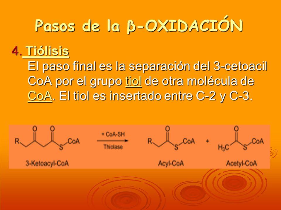 Pasos de la β-OXIDACIÓN 4. Tiólisis El paso final es la separación del 3-cetoacil CoA por el grupo tiol de otra molécula de CoA. El tiol es insertado