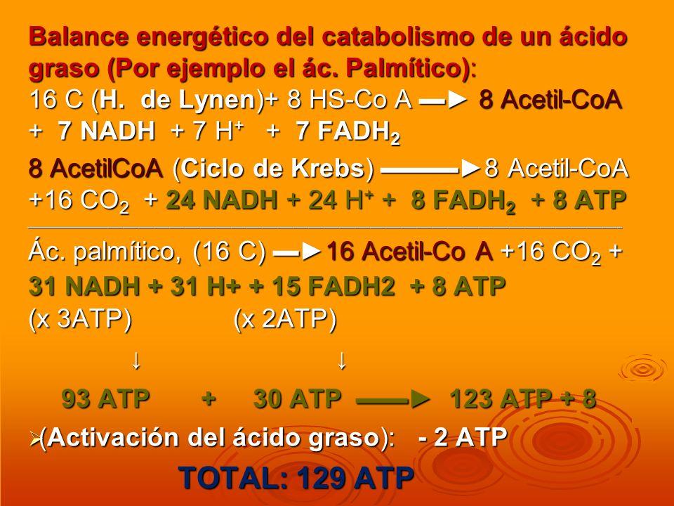 Balance energético del catabolismo de un ácido graso (Por ejemplo el ác. Palmítico): 16 C (H. de Lynen)+ 8 HS-Co A 8 Acetil-CoA + 7 NADH + 7 H + + 7 F