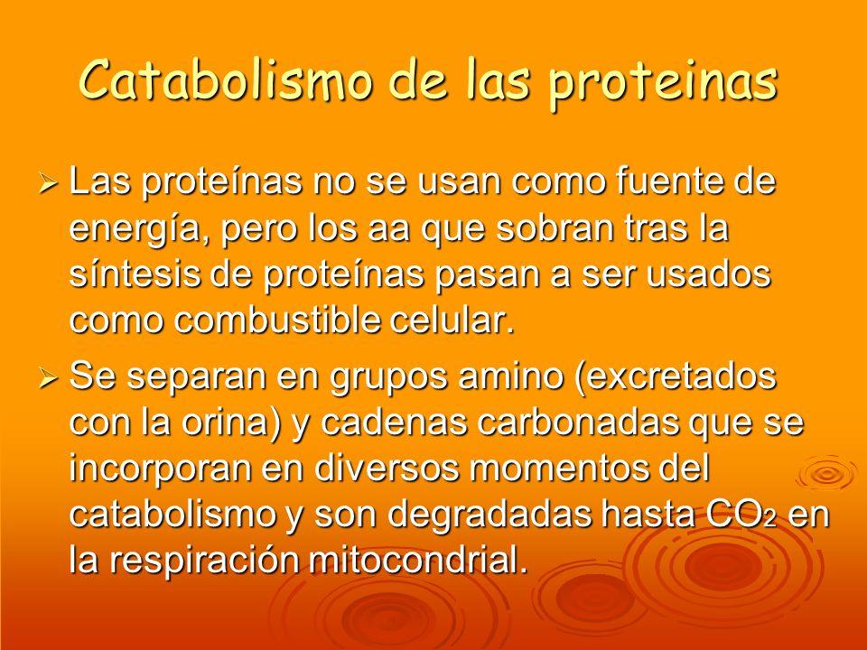 Catabolismo de las proteinas Las proteínas no se usan como fuente de energía, pero los aa que sobran tras la síntesis de proteínas pasan a ser usados