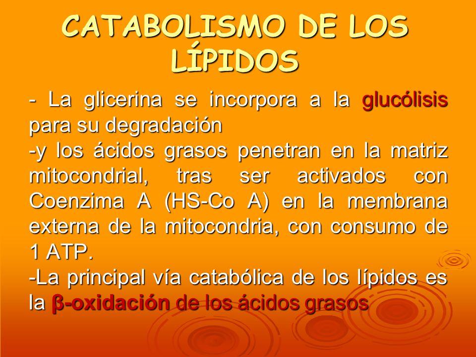 CATABOLISMO DE LOS LÍPIDOS - La glicerina se incorpora a la glucólisis para su degradación -y los ácidos grasos penetran en la matriz mitocondrial, tr