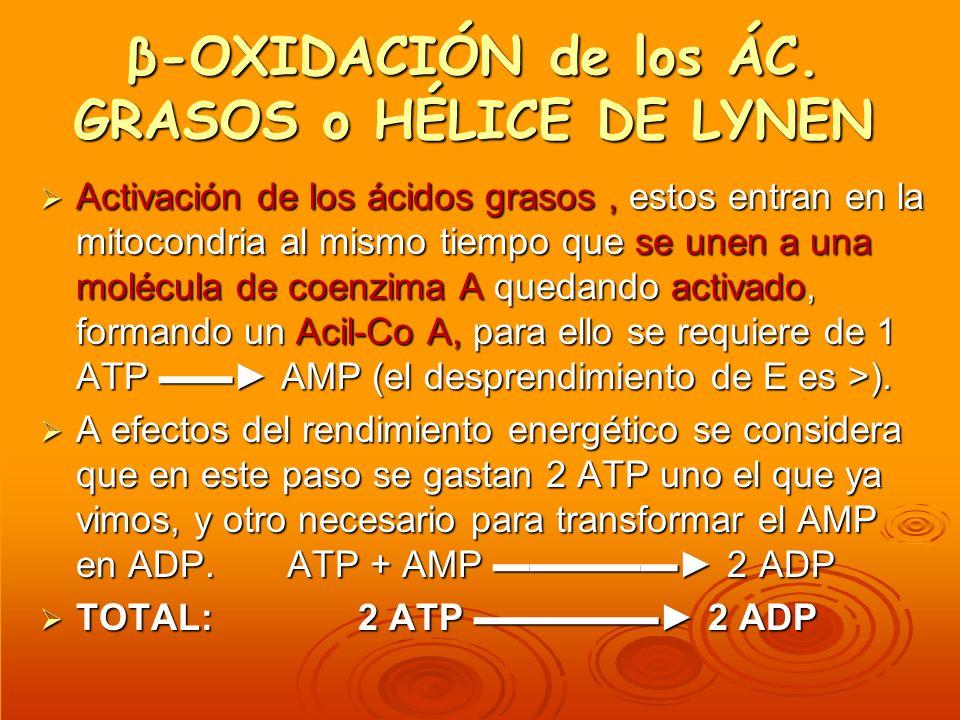β-OXIDACIÓN de los ÁC. GRASOS o HÉLICE DE LYNEN Activación de los ácidos grasos, estos entran en la mitocondria al mismo tiempo que se unen a una molé
