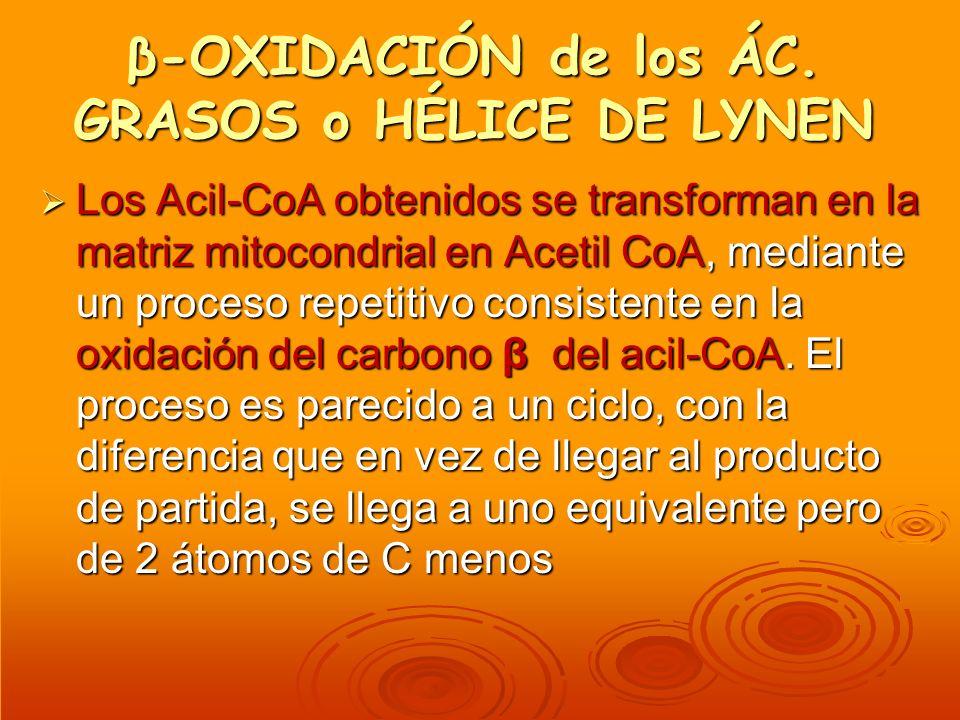 β-OXIDACIÓN de los ÁC. GRASOS o HÉLICE DE LYNEN Los Acil-CoA obtenidos se transforman en la matriz mitocondrial en Acetil CoA, mediante un proceso rep