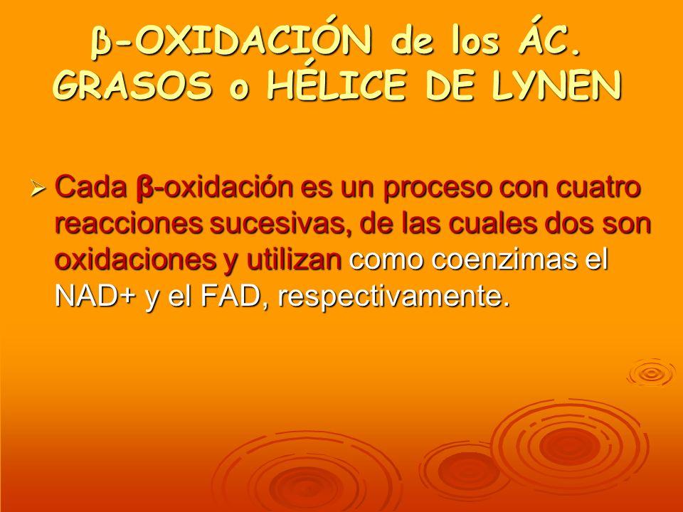 β-OXIDACIÓN de los ÁC. GRASOS o HÉLICE DE LYNEN Cada β-oxidación es un proceso con cuatro reacciones sucesivas, de las cuales dos son oxidaciones y ut