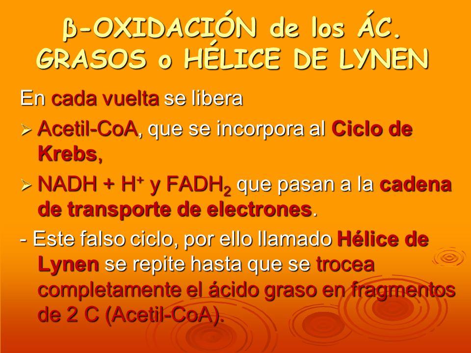 β-OXIDACIÓN de los ÁC. GRASOS o HÉLICE DE LYNEN En cada vuelta se libera Acetil-CoA, que se incorpora al Ciclo de Krebs, Acetil-CoA, que se incorpora