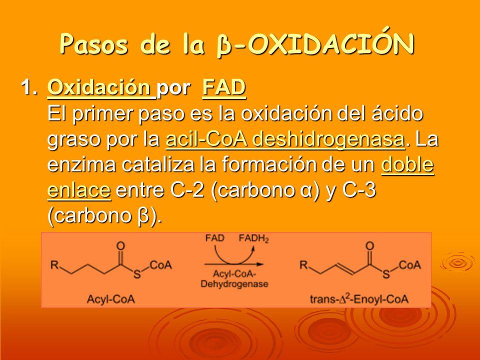 Pasos de la β-OXIDACIÓN 1.Oxidación por FAD El primer paso es la oxidación del ácido graso por la acil-CoA deshidrogenasa. La enzima cataliza la forma