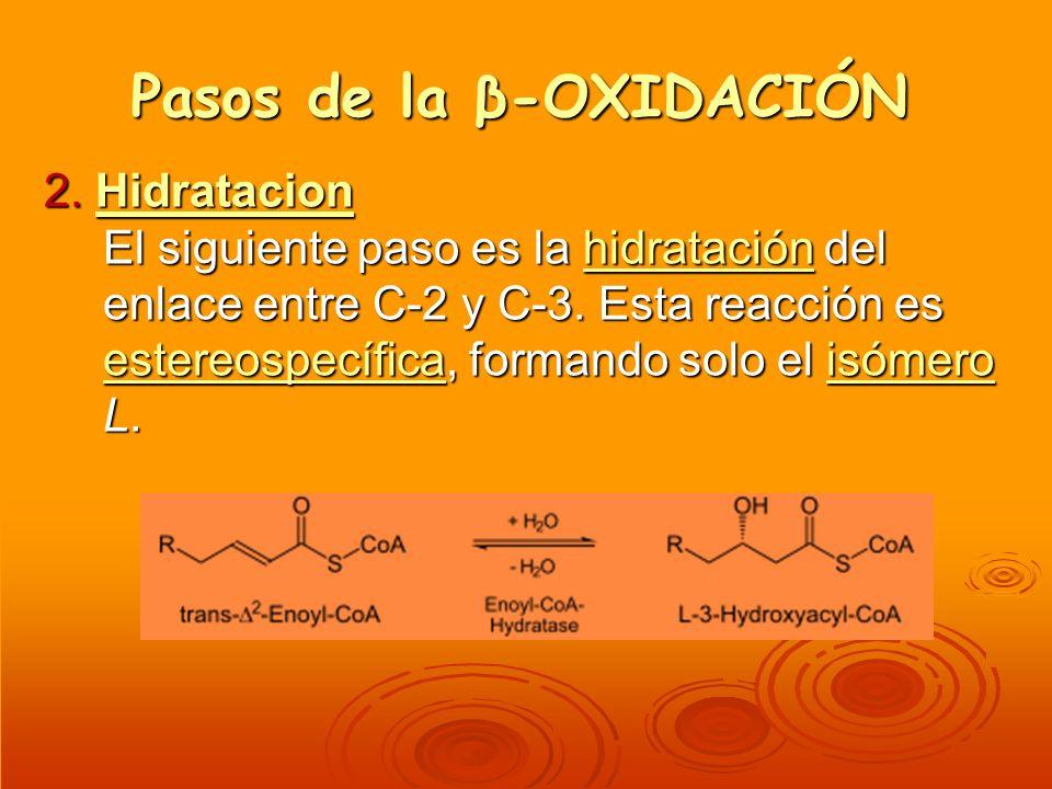 Pasos de la β-OXIDACIÓN 2. Hidratacion El siguiente paso es la hidratación del enlace entre C-2 y C-3. Esta reacción es estereospecífica, formando sol