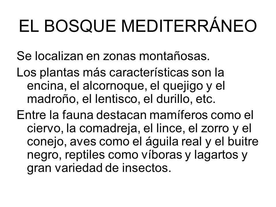 EL BOSQUE MEDITERRÁNEO Se localizan en zonas montañosas. Los plantas más características son la encina, el alcornoque, el quejigo y el madroño, el len
