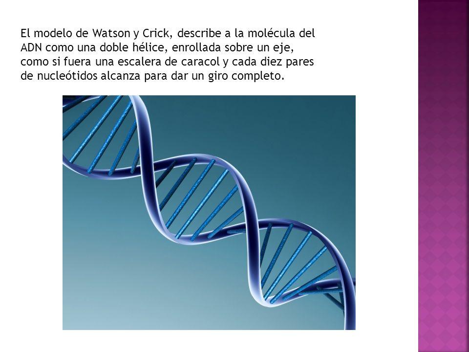 El modelo de Watson y Crick, describe a la molécula del ADN como una doble hélice, enrollada sobre un eje, como si fuera una escalera de caracol y cad