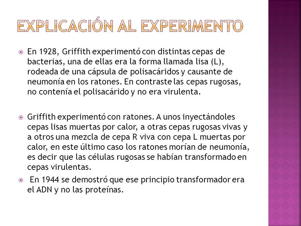 En 1928, Griffith experimentó con distintas cepas de bacterias, una de ellas era la forma llamada lisa (L), rodeada de una cápsula de polisacáridos y