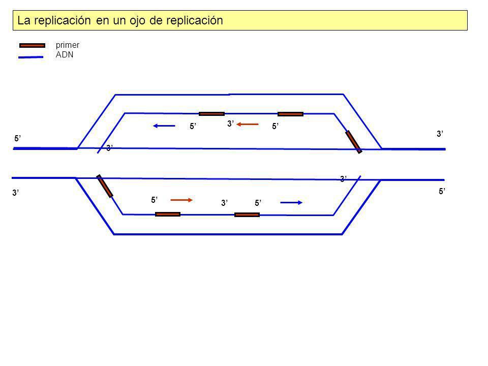 3 3 5 5 3 5 3 5 5 5 3 3 La replicación en un ojo de replicación primer ADN