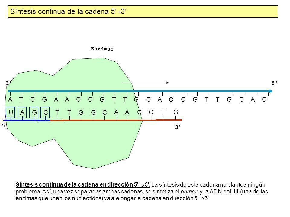 A T C G A A C C G T T G C A C C G T T G C T A G CT UGGC A A C G TG Síntesis discontinua de la cadena 3 -5 AACC C G GT Síntesis discontinua.