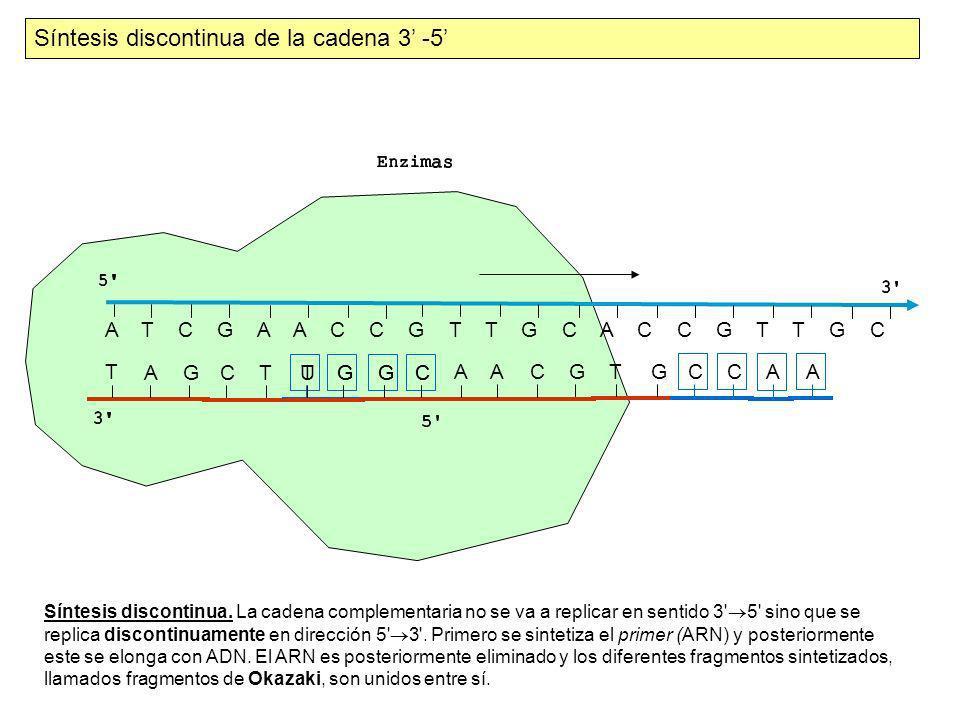 A T C G A A C C G T T G C A C C G T T G C T A G CT UGGC A A C G TG Síntesis discontinua de la cadena 3 -5 AACC C G GT Síntesis discontinua. La cadena