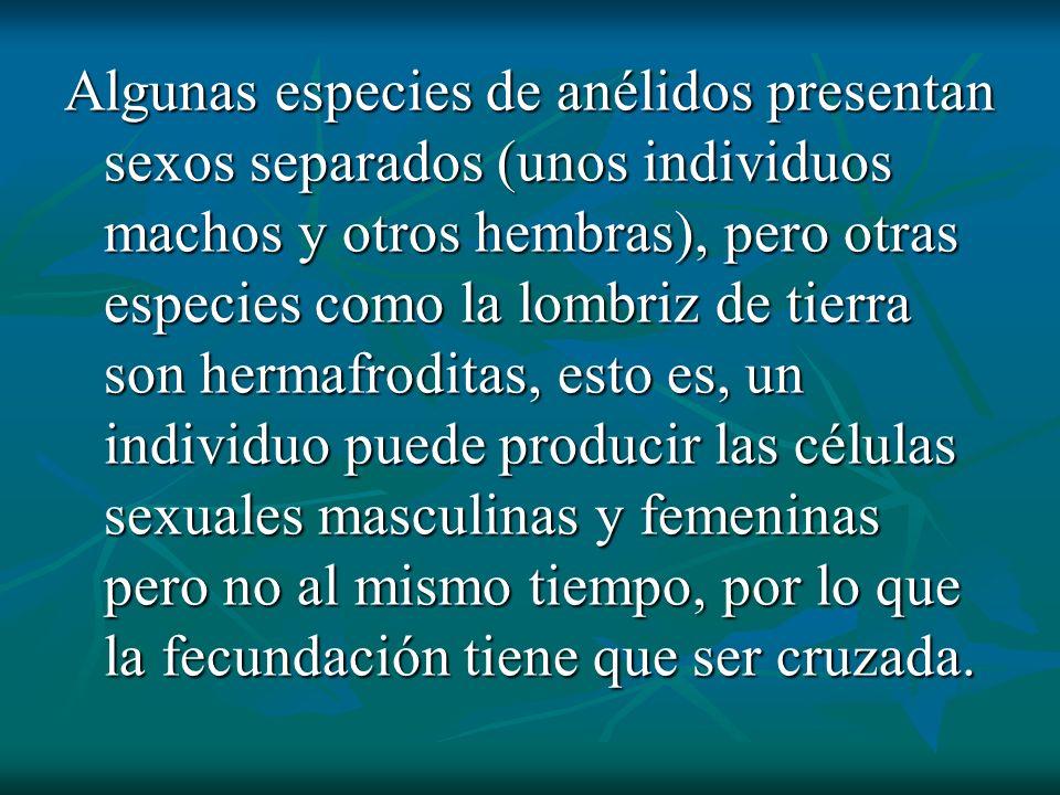 Algunas especies de anélidos presentan sexos separados (unos individuos machos y otros hembras), pero otras especies como la lombriz de tierra son her