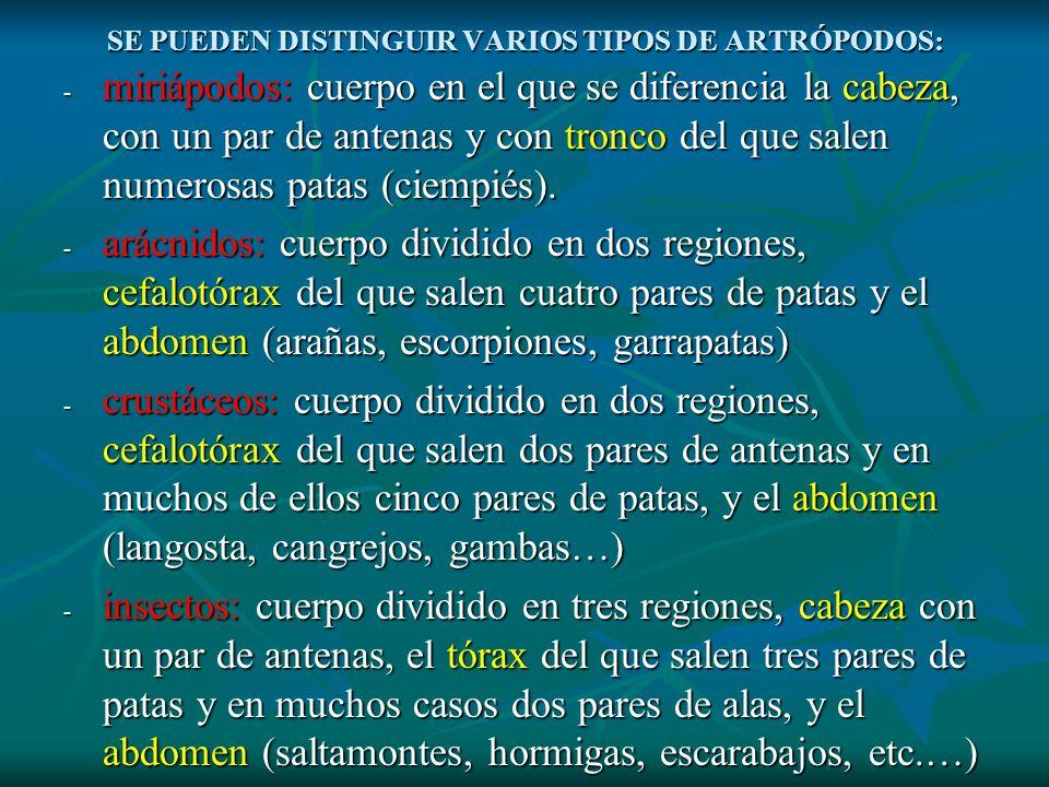 SE PUEDEN DISTINGUIR VARIOS TIPOS DE ARTRÓPODOS: - miriápodos: cuerpo en el que se diferencia la cabeza, con un par de antenas y con tronco del que sa