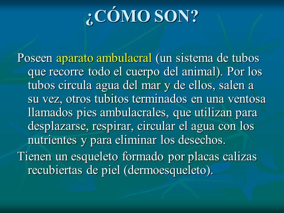 ¿CÓMO SON? Poseen aparato ambulacral (un sistema de tubos que recorre todo el cuerpo del animal). Por los tubos circula agua del mar y de ellos, salen