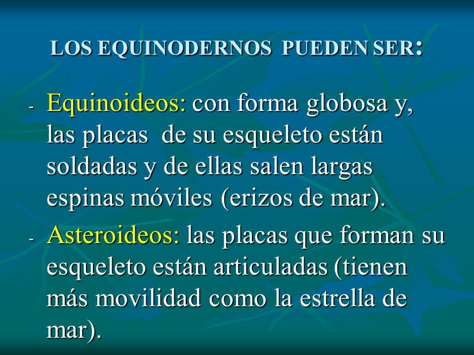 LOS EQUINODERNOS PUEDEN SER : - Equinoideos: con forma globosa y, las placas de su esqueleto están soldadas y de ellas salen largas espinas móviles (e