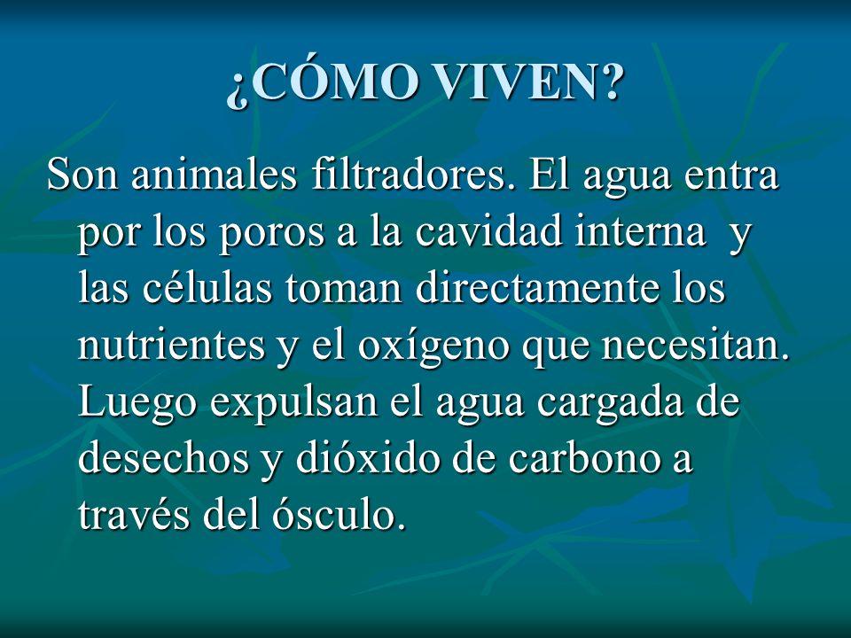 ¿CÓMO VIVEN? Son animales filtradores. El agua entra por los poros a la cavidad interna y las células toman directamente los nutrientes y el oxígeno q