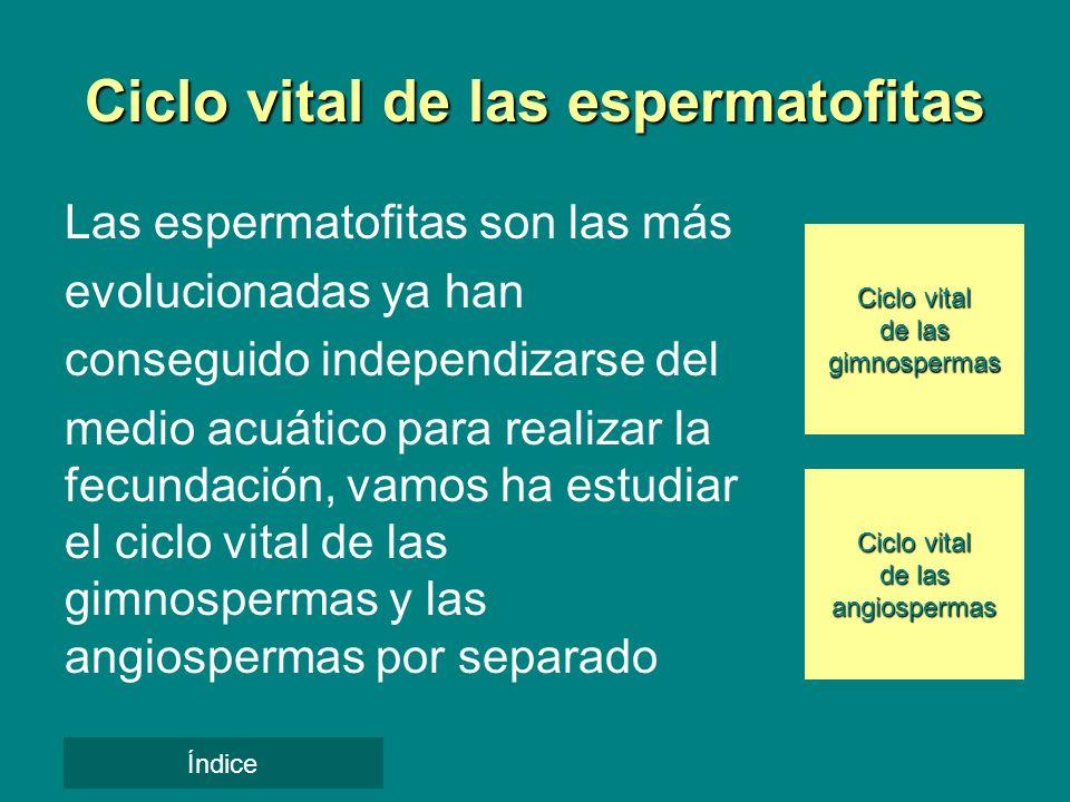 Ciclo vital de las espermatofitas Las espermatofitas son las más evolucionadas ya han conseguido independizarse del medio acuático para realizar la fe