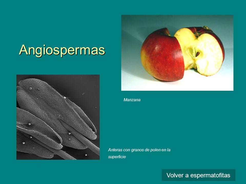 Angiospermas Anteras con granos de polen en la superficie Manzana Volver a espermatofitas
