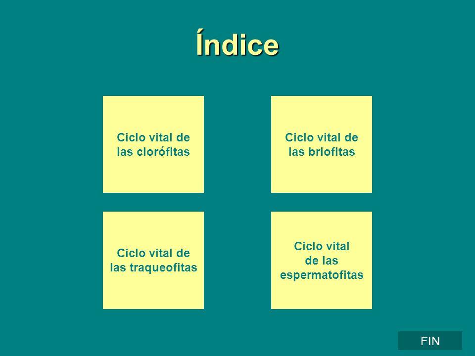 Índice Ciclo vital de las clorófitas Ciclo vital de las briofitas Ciclo vital de las traqueofitas Ciclo vital de las espermatofitas FIN