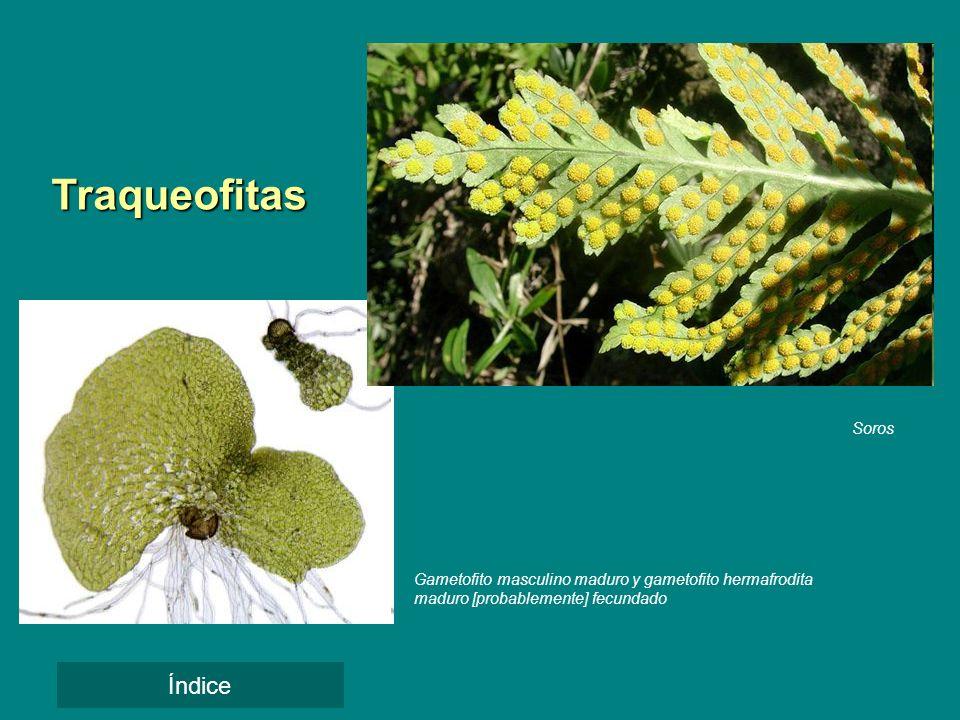 Soros Traqueofitas Gametofito masculino maduro y gametofito hermafrodita maduro [probablemente] fecundado Índice
