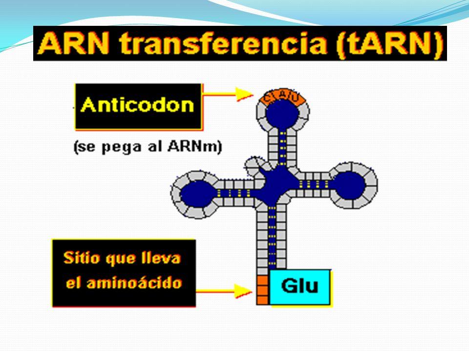 La Traducción La traducción es el proceso de convertir las secuencias del ARNm en una secuencia de aminoácidos.