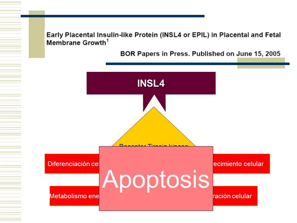 INSL4 Receptor Tirosin kinasa Fosforilación Diferenciación celular Metabolismo energéticoProliferación celular Crecimiento celular Apoptosis